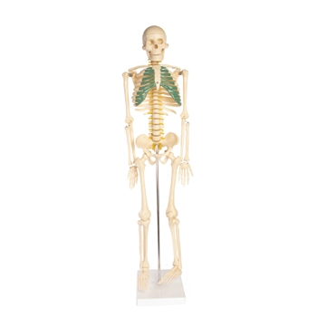 Skeleton Model with Nerves - 34