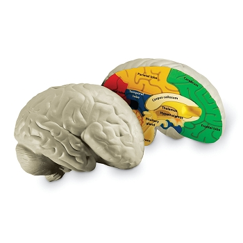 Human Brain Cross Section Model