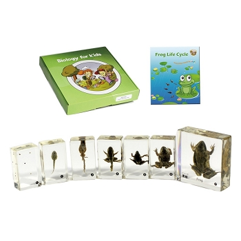 Biology for Kids, Frog Life Cycle